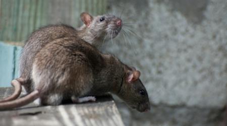 Comment traiter les nuisibles : rats et insectes